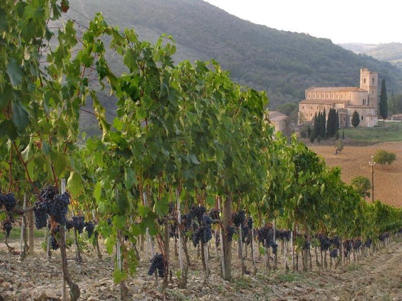 Grape vines for Fanti's Brunello