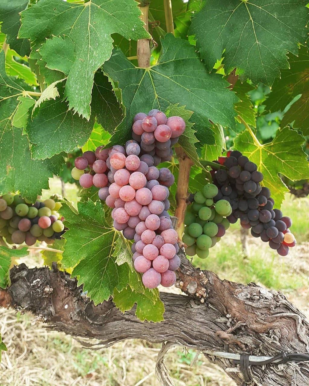 Brunello Grapes