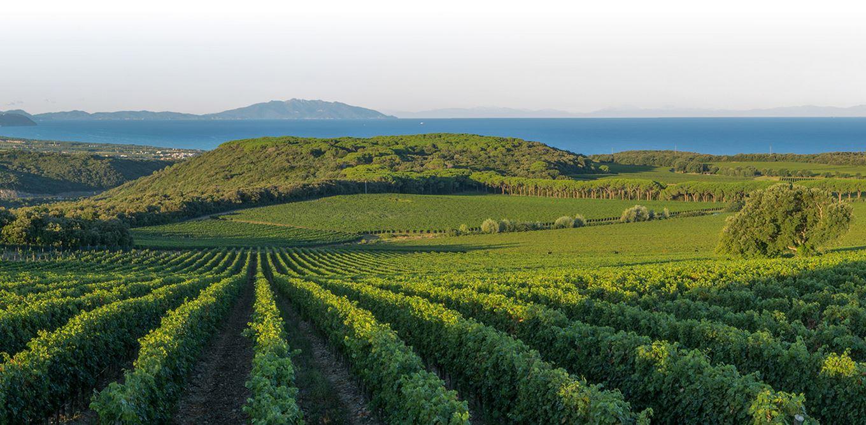 Argentiera Vines