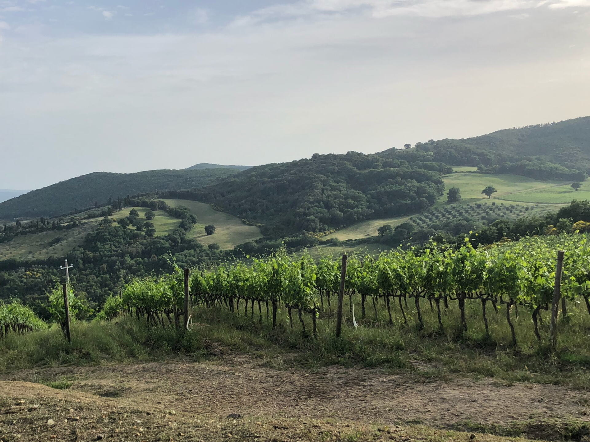 Grapevines and Vineyards at Baricci