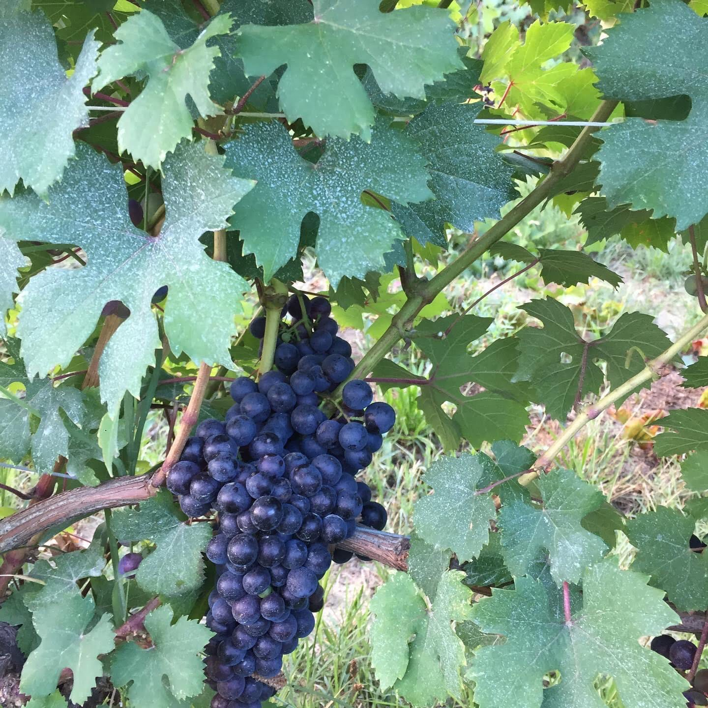 Dolcetto Boschis