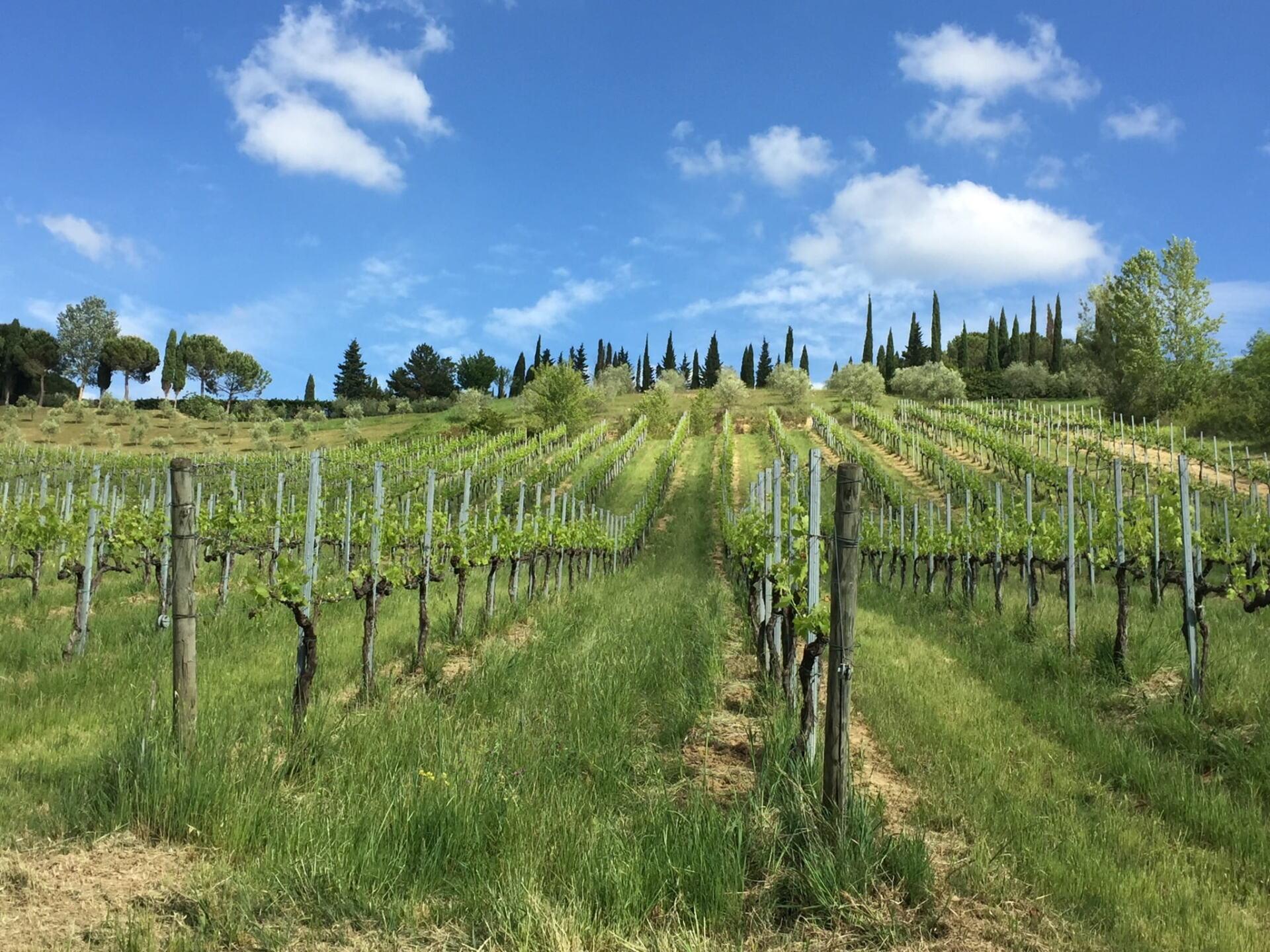 Vitiarium grape vines at Campochiarenti