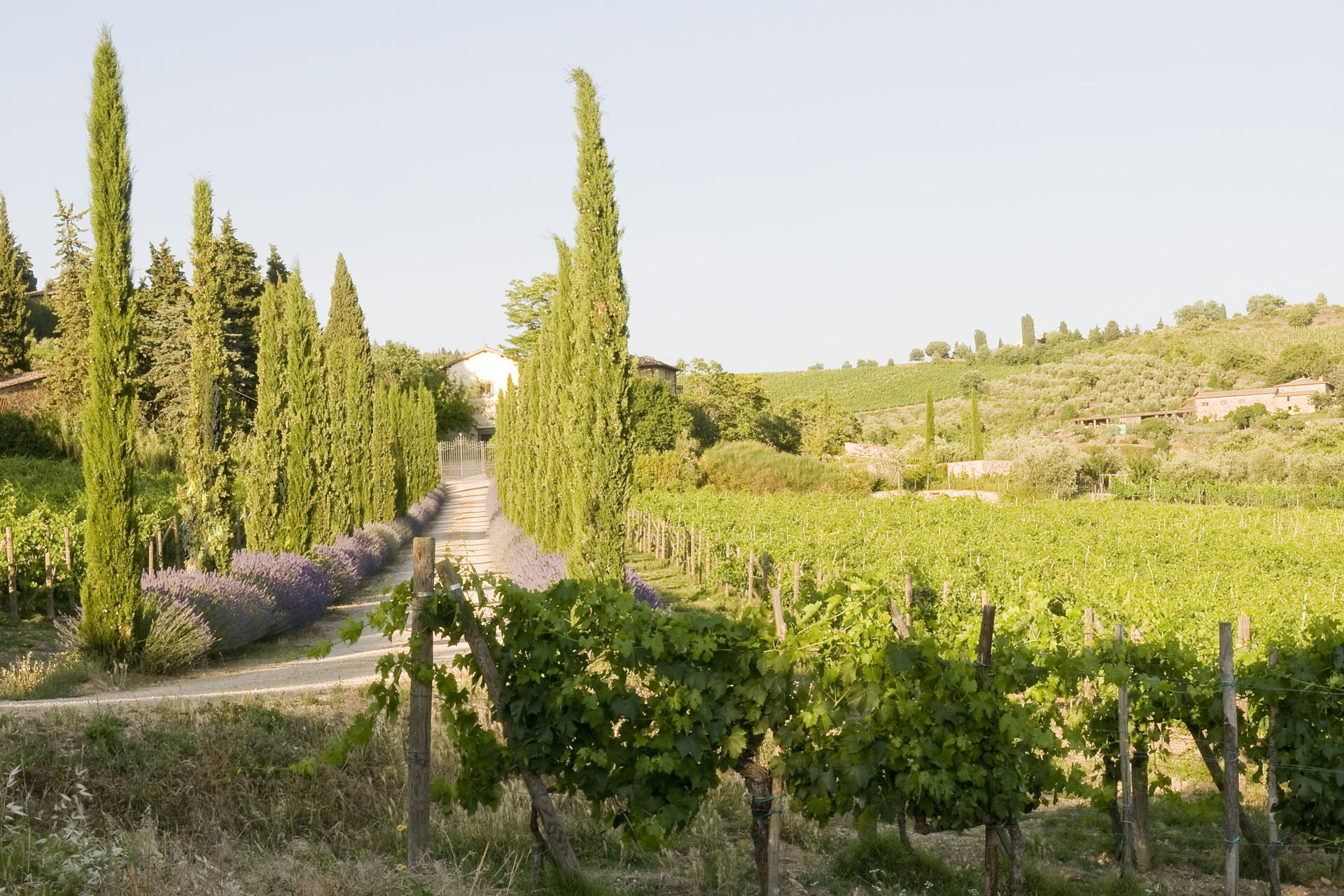 Tuscan white road lined with lavender, cypress trees and grape vines