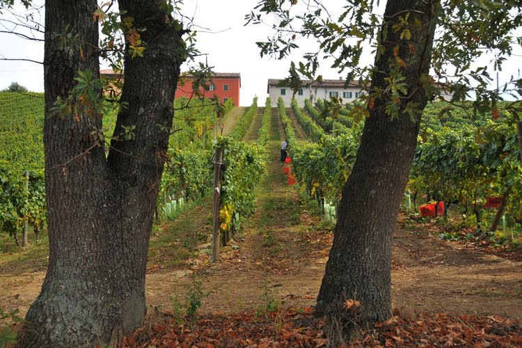 Cascina Castlet Vines
