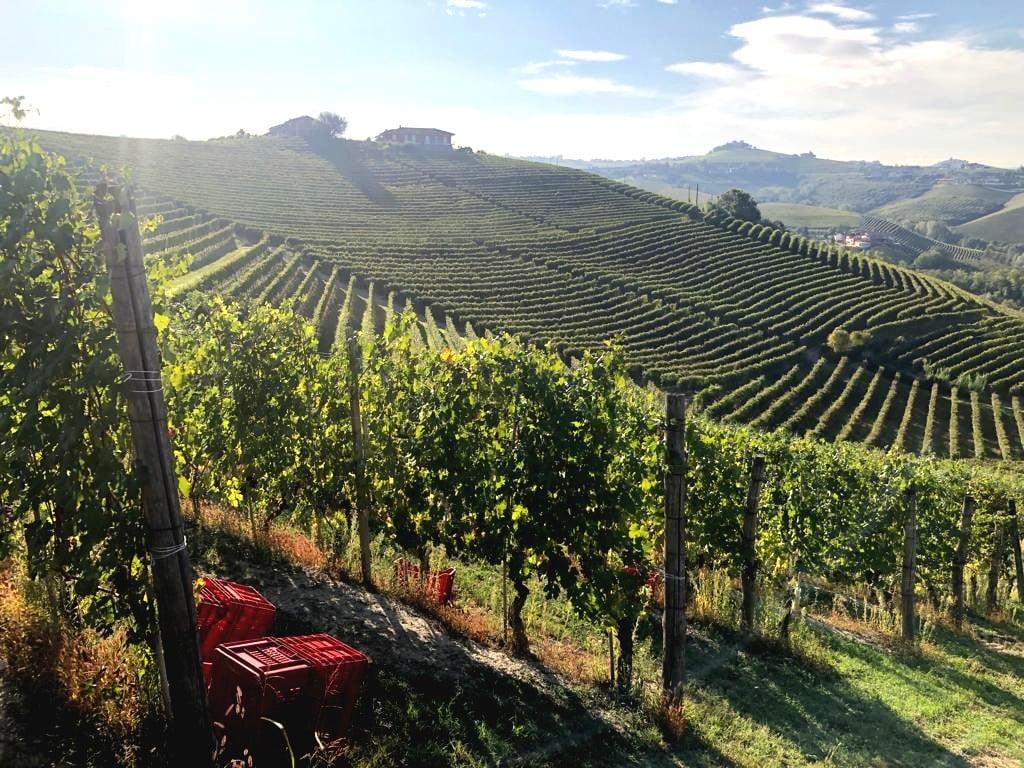 Nizza grape vines