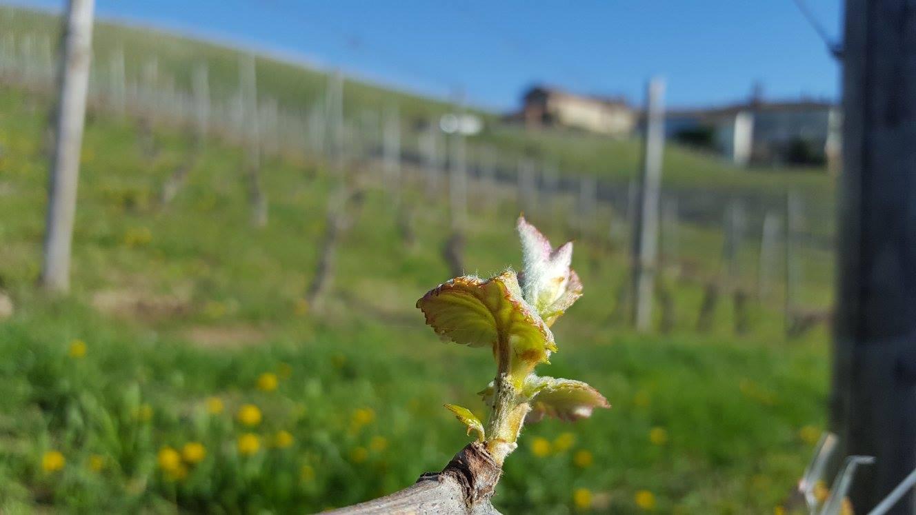 Nizza bud on a vine