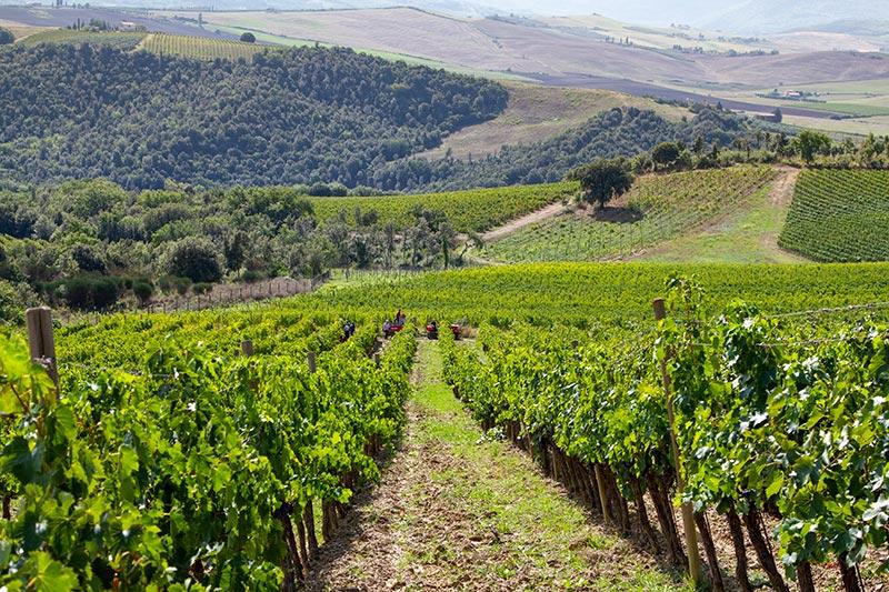 Collemattoni vines