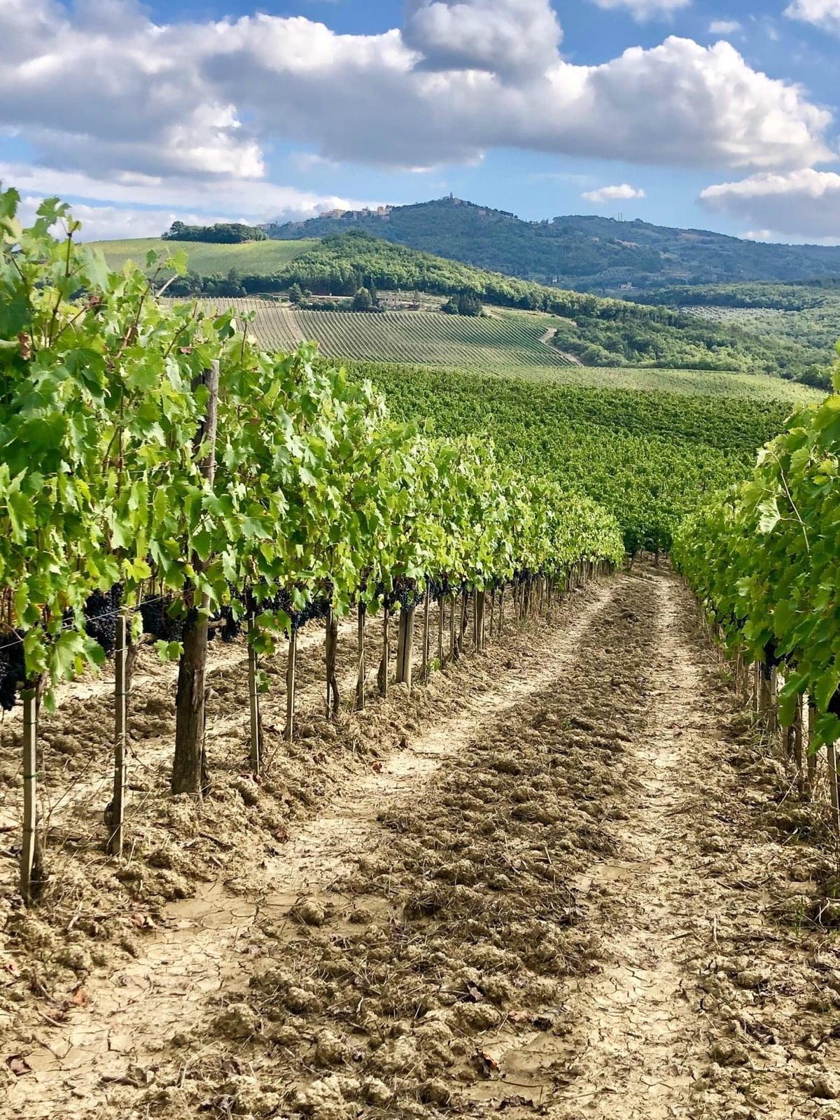 Vine rows on the Donatella Cinelli Colombini Estate