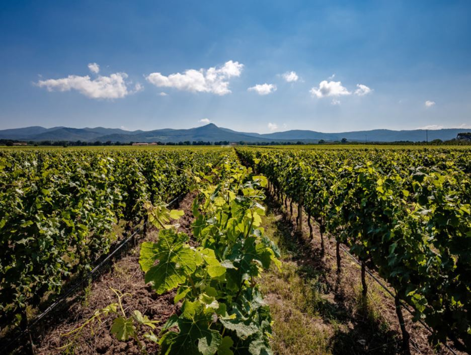 Vines on Antinori Estate