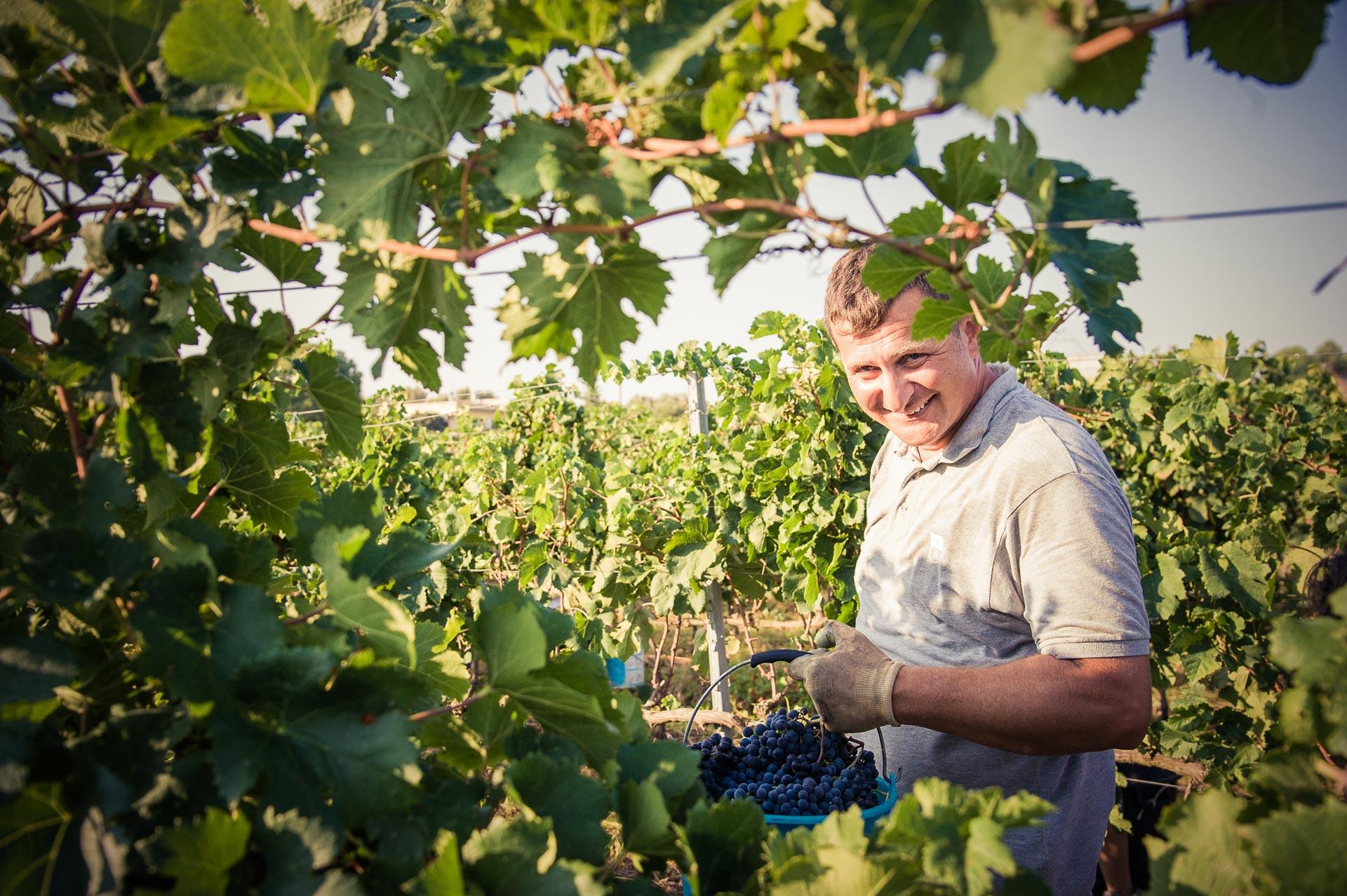 Susumaniello Harvest