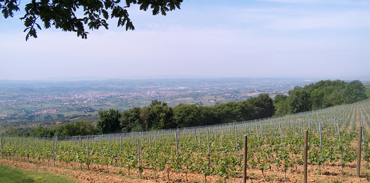 Graape vines and trees in Tuscany