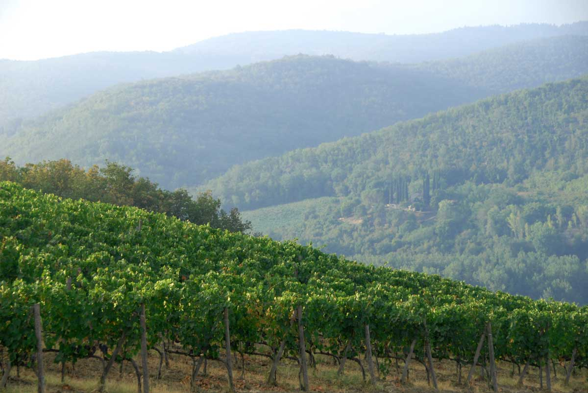 Grape vines on a sloping hill