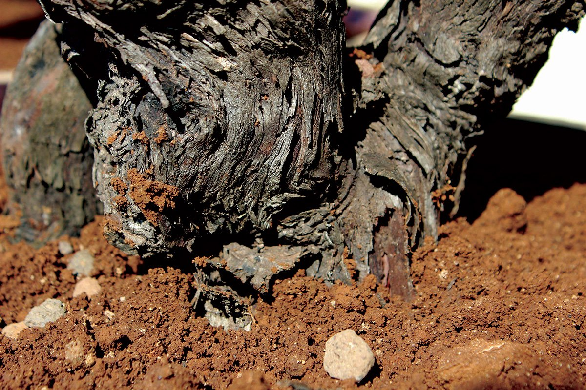 base of a grape vine in red dirt