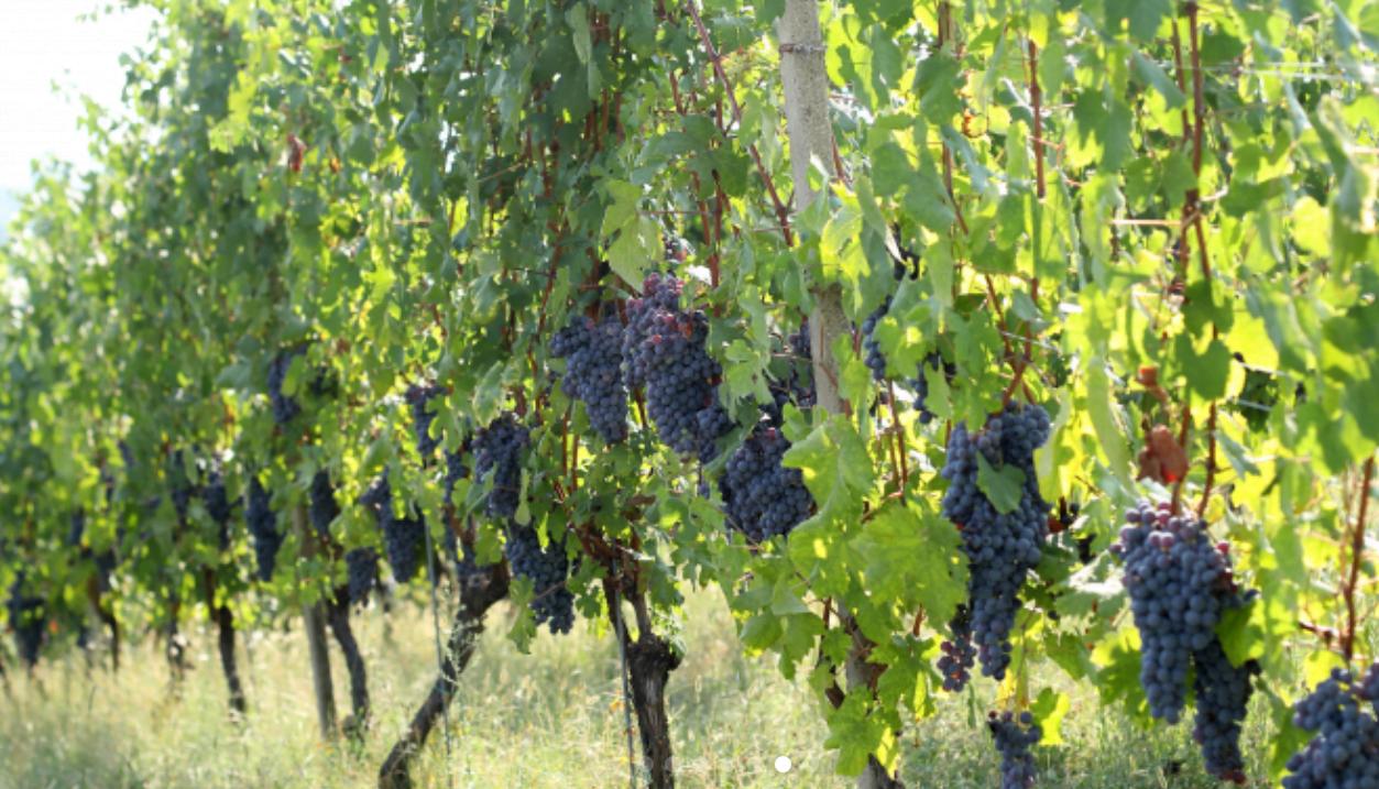Nebbiolo grapes hanging in Gattinara