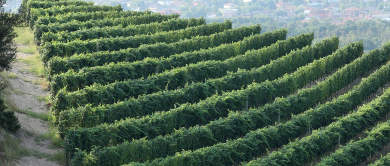 Nervi Gattinara vines in Piemonte