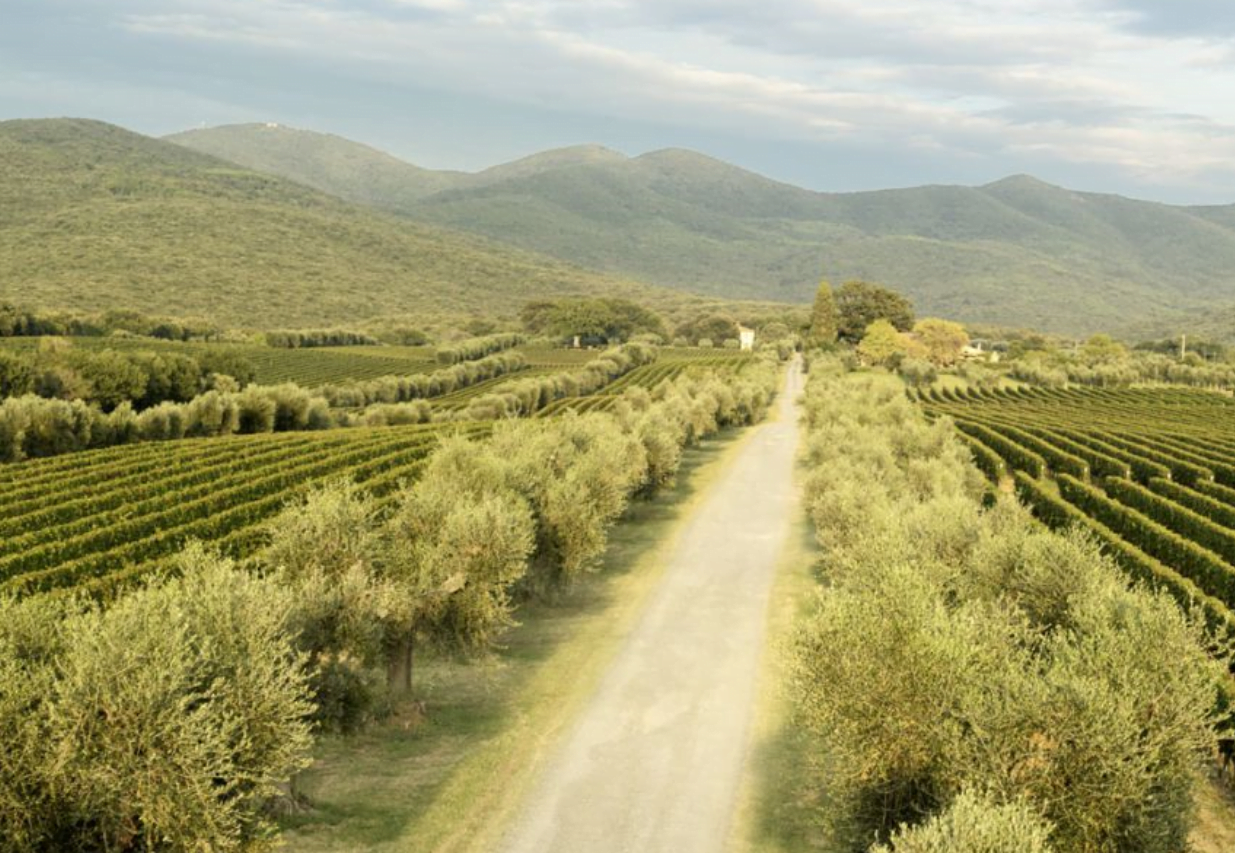 Vines and olive trees and a white road