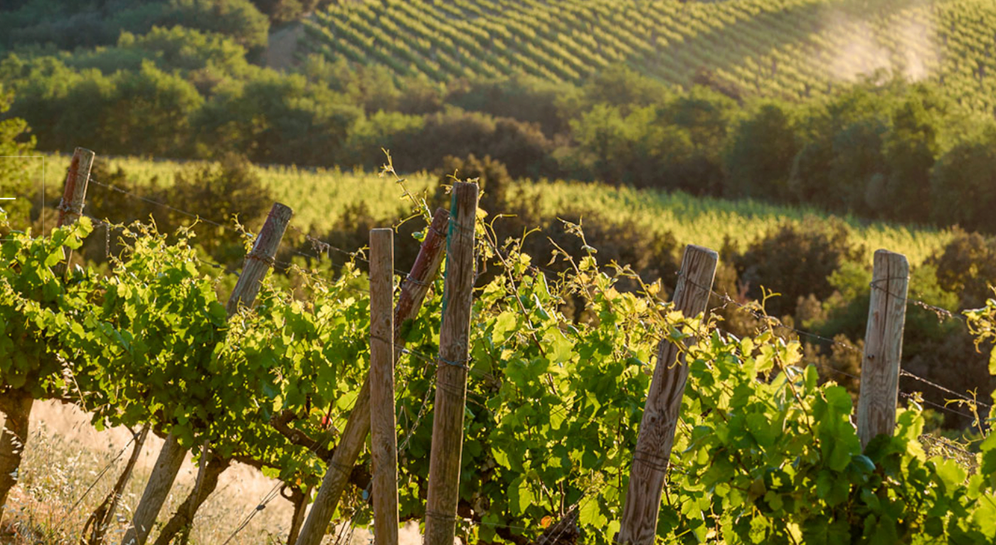 Grape vines on the Piancornello estate