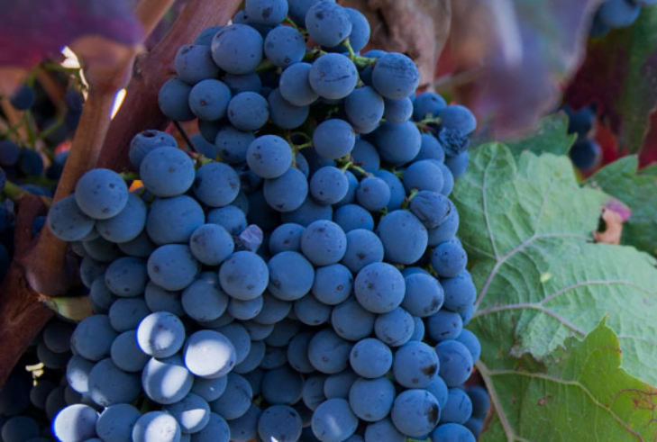 Grapes hanging on the Punica estate for Barrua