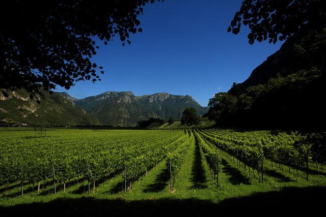 Vineyards on the San Leonardo Estate