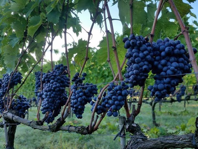 Rosso grapes at Il Palazzone