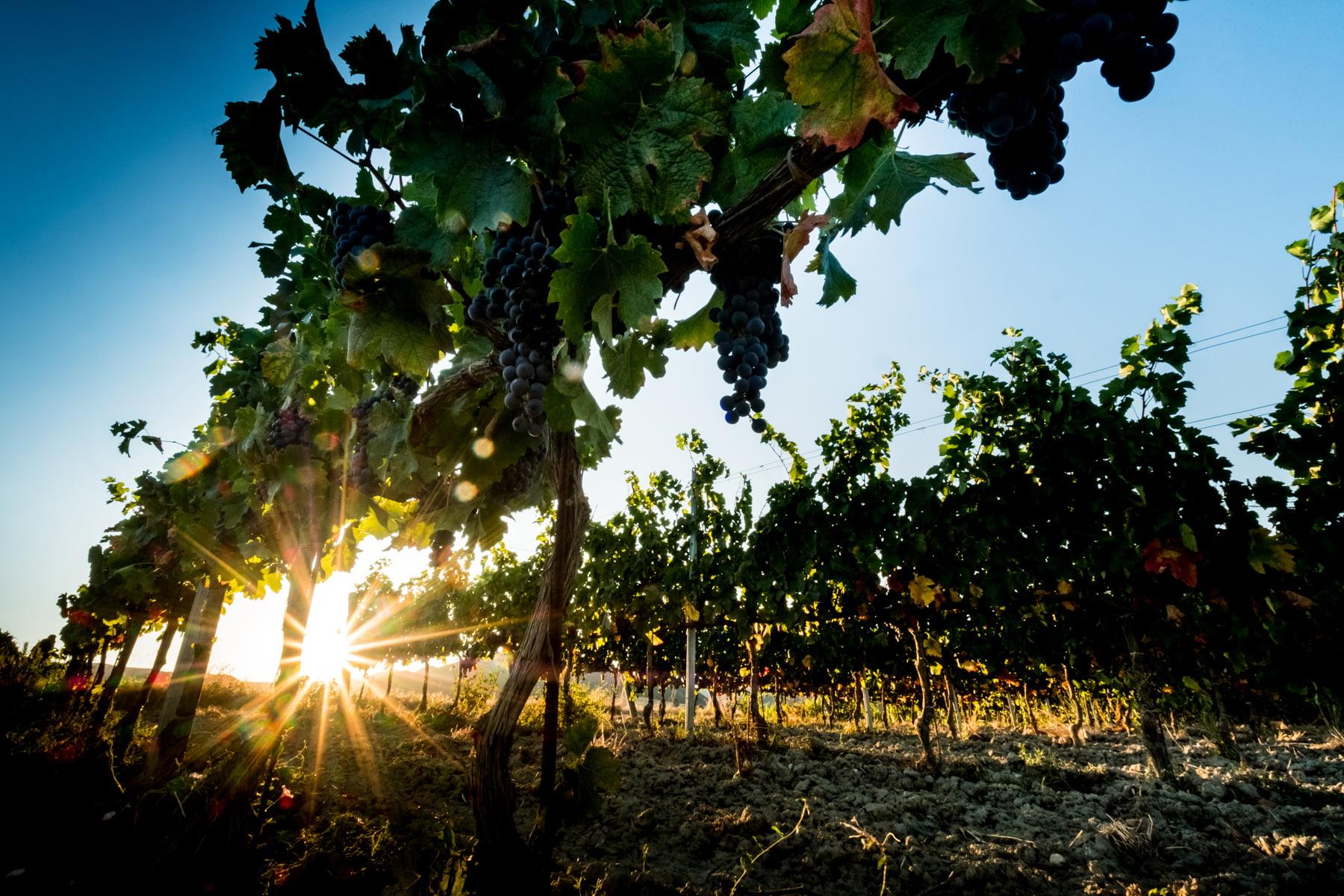 Sator grapes