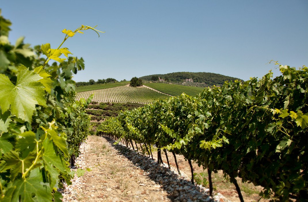 The Solaia Vineyard in Tuscany - Vines