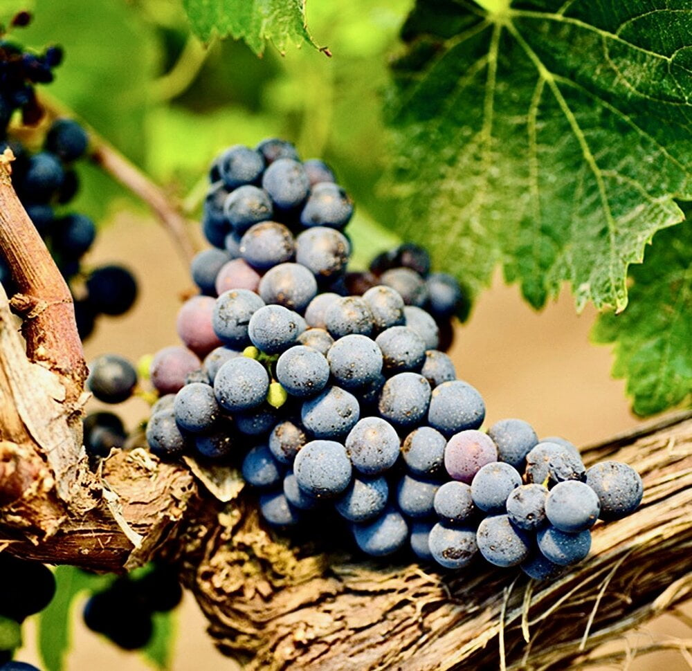 Susumaniello Grapes