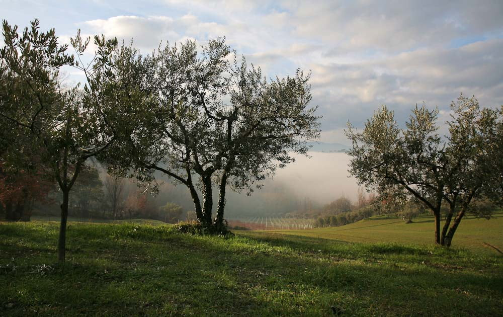 Olive trees and vineyards with fog in Umbria