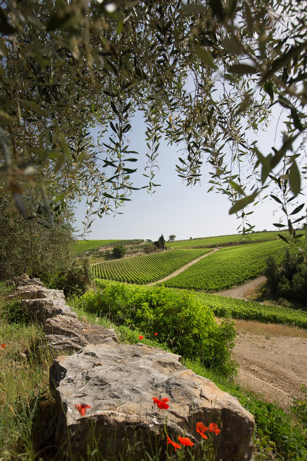 vineyard and trees in chianti classico