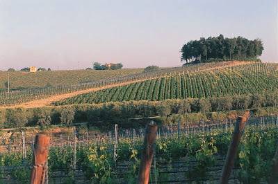 Al Passo vineyards and clump of trees