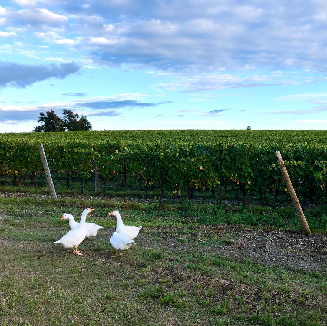 Villa Trasqua Ducks