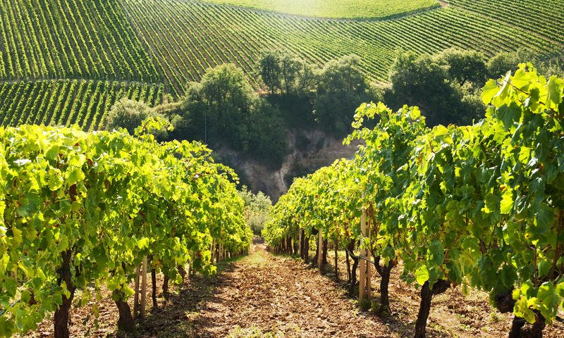 hillside grape vines