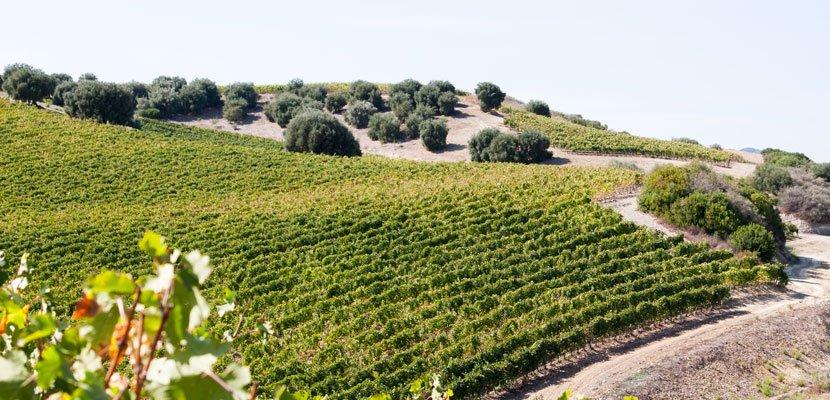 Barrua vineyards